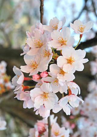 春の花の花言葉一覧。卒業、感謝、ありがとうなど旅立ちに。12