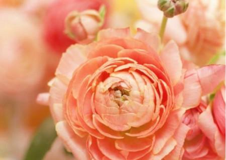 ピンク色の綺麗な薔薇