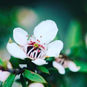 ニュージーランドのマヌカの花