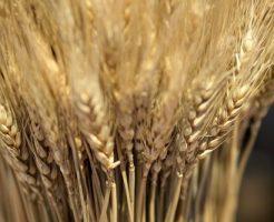国産もち麦のおすすめ10選と健康、美容効果